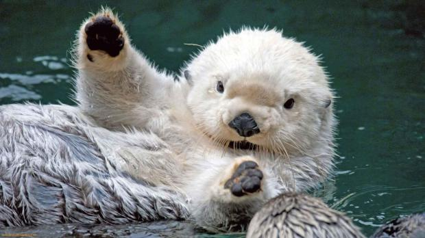 others-cute-baby-sea-otters-free_189729